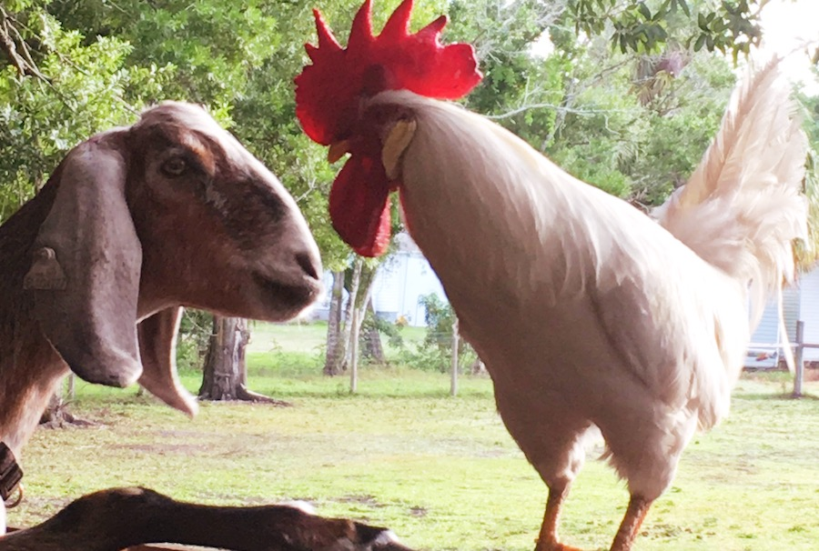Rooster and Goat